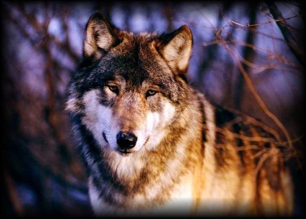 wolf122.jpg